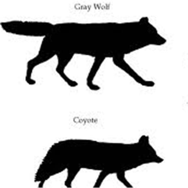 Coyote and Wolf